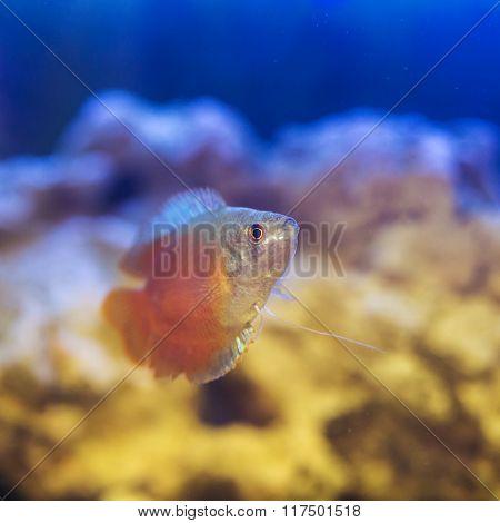 Dwarf Gourami In Aquarium