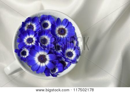 Blue and white cineraria flowers in a cup
