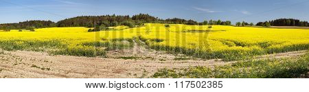 Flowering Field Of Rapeseed - Brassica Napus