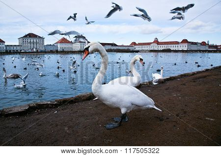 Swan Lake With Seagulls.