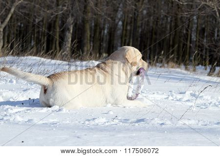 A Yellow Labrador In Winter In Snow With A Toy