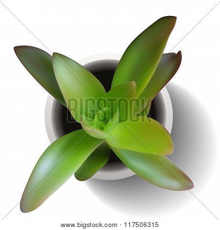 Crasula Succulent Vector