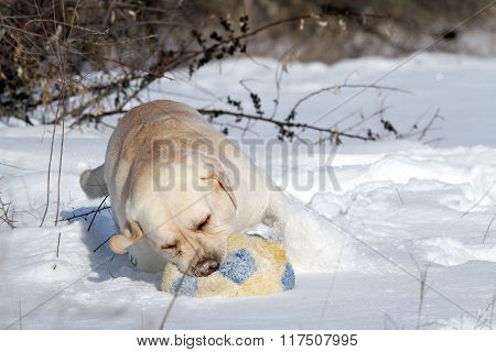 Yellow Labrador In Winter In Snow With A Ball