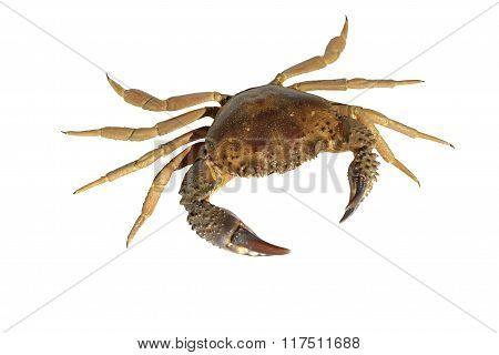 Souvenir Crab.