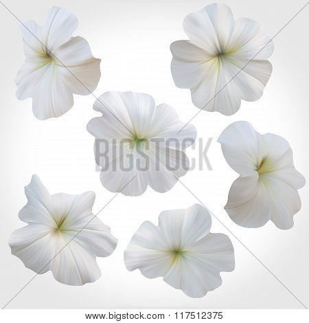 Set Of White Petunia Heads Isolated On Light Backdrop. Floral Design Elements.