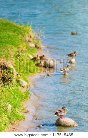 Group Of Ducks And Drakes On A Sunny Day Near The Water