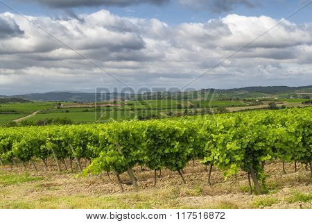 Vineyard Near Carcassonne (france)