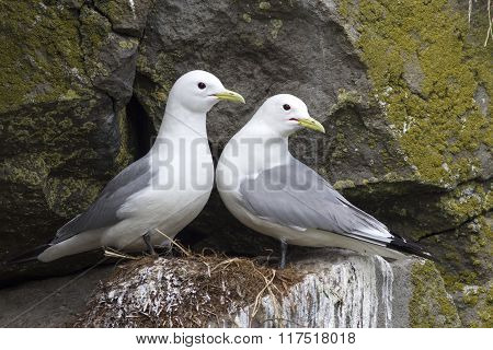 Pair Of Black-legged Kittiwake Sitting On A Nest In The Spring Cloudy Day