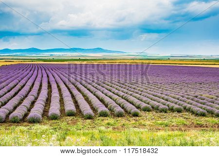 Rows of Lavender at the field and cloudy blue sky background
