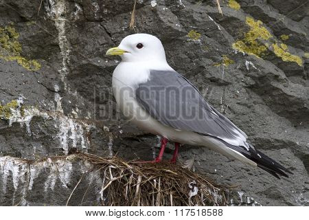 Red-legged Kittiwake Which Stands On The Nest Overcast Spring Day
