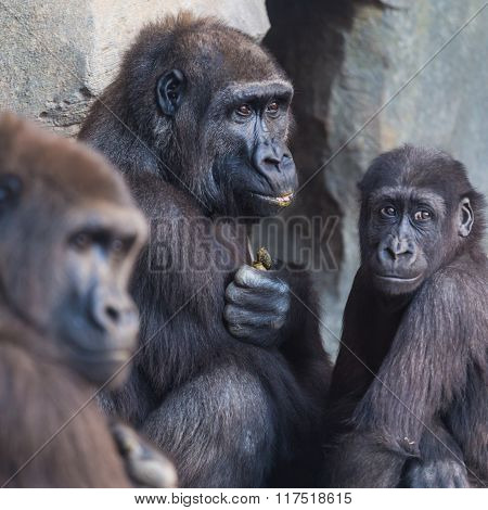 Gorilla apes family.