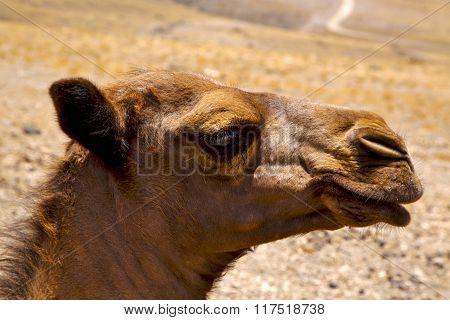Timanfaya Spain Africa Puppy Brown Dromedary Bite