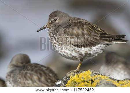 Rock Sandpiper Which Stands On A Rock Covered With Lichen