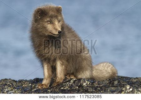 Commander Arctic Fox Sitting On The Beach Sunny Winter Day