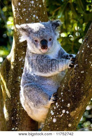 Cuddly koala sitting in tree