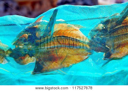 Dried Parrot fish Vieja in Fuerteventura Canary Islands Sparisoma cretense