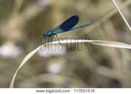 Blue Dragonfly On A Blade
