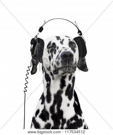 Dalmatian Listening To Music