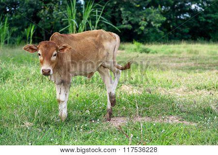 Baby Brown Bull.