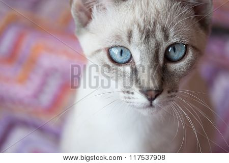 Adorable Cat With Blue Eyes