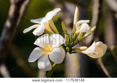 White Plumeria On The Tree