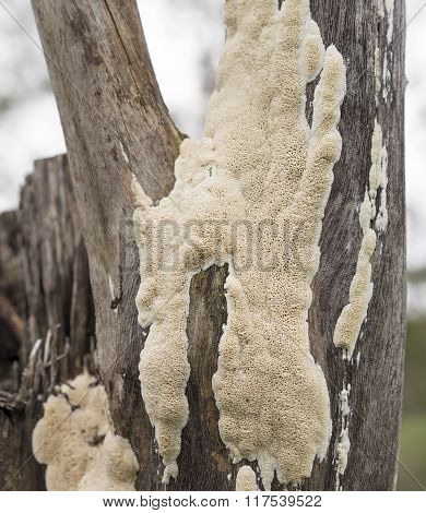 Australian Polypore Fungus Growing On Eucalypt Stump