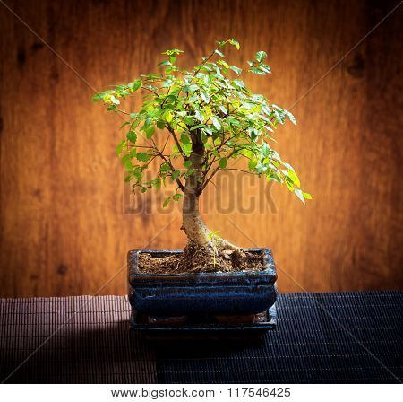 Beautiful bonsai tree on wooden background