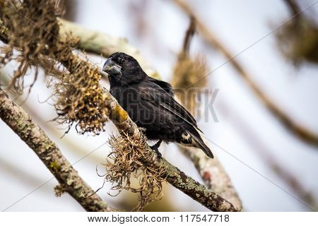 Large Ground-Finch (Geospiza magnirostris), male on Santa Cruz Island, Galapagos