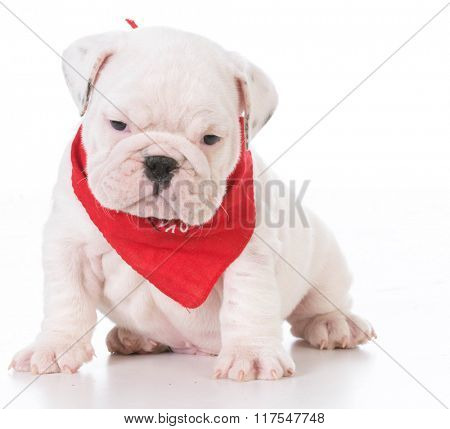 seven week old english bulldog puppy isolated on white background