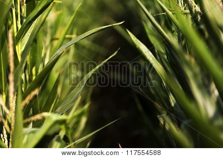 Abstract image of a corn field
