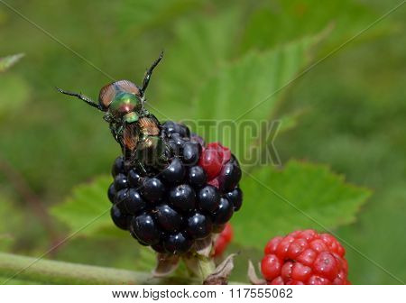 Japanese beetle mating and eating