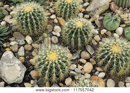 Echinocactus Grusonii.