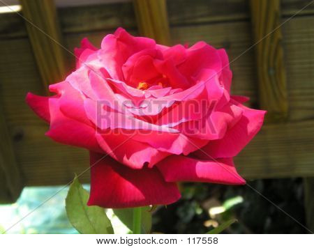 Rose In Bloom