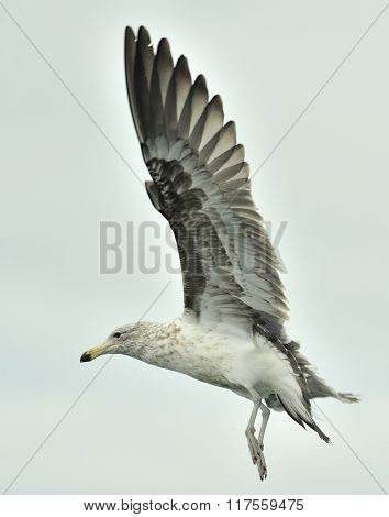 Juvenile Kelp Gull (larus Dominicanus), Also Known As The Dominican Gull