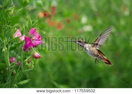 Annas Hummingbird Over Blurred Green Summer Background