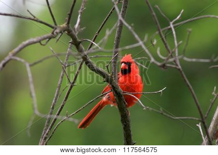 Beautiful Cardinal bird on the tree