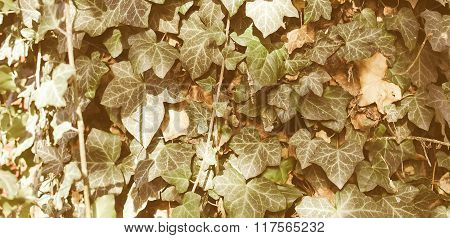Retro Looking Ivy Picture