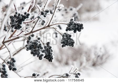 The Elderberry In Snow