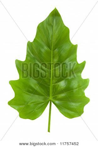 Tropical Leaf Of The Philodendron Isolated