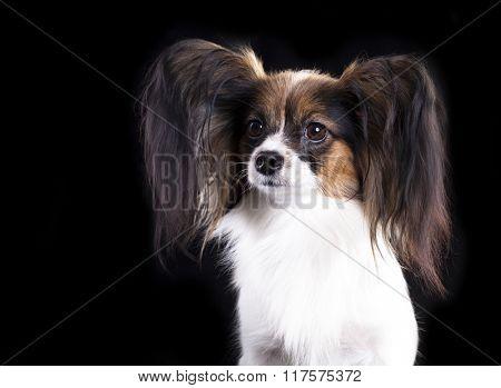 papillon, butterfly dog