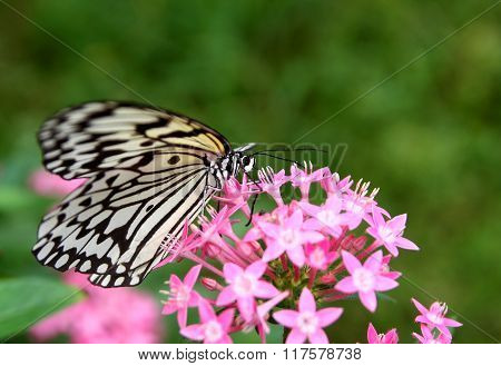 Beautiful Butterfly - Large Tree Nymph And Flower