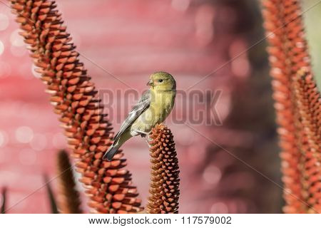 Little Yellow Brid - Spinus Spinus Sitting On A Red Flower