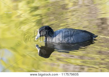 Fulica Atra Swimming With Beautiful Reflection