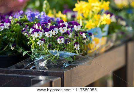 colorful delicate violets on a shot shelf in pots
