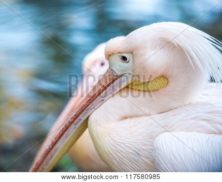 close-up of pink pelican with long beak and forelock in profile