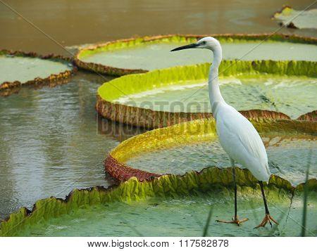 Stork Bird Standing On Giant Lotus Leaf