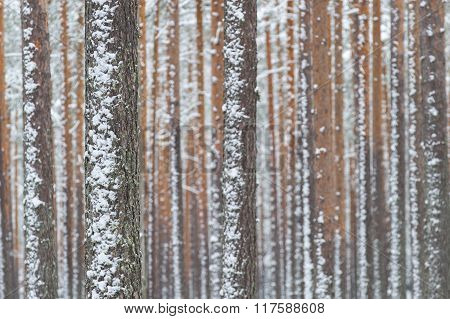 A close up of a pine tree forest
