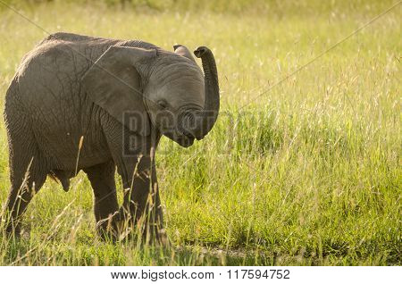 Baby elephant in Masai Mara National Reserve, Kenya.