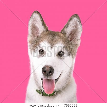 Portrait of Malamute puppy on pink background