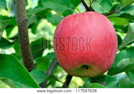 Close-up Of Red Apple